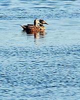 Mottled Duck (Anas fulvigula). Black Point Wildlife Drive, Merritt Island Wildlife Refuge. Merritt Island, Brevard County, Florida. Image taken with a Nikon D3x camera.
