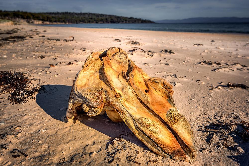 Whale skull at Coocks Beach, Freycinet National Park, Tasmania