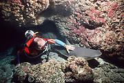 scuba diver strokes sleeping Caribbean reef shark, Carcharhinus perezi, resting in cave,  Bahamas ( Western Atlantic Ocean )