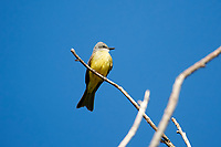 Tropical Kingbird (Tyrannus melancholicus), perched in a tree Jocotopec, Jalisco, Mexico