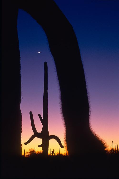 Saguaro cactus, twilight, crescent moon, Saguaro National Park, Arizona, USA