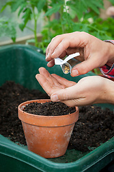 Sowing melon seed in a pot.