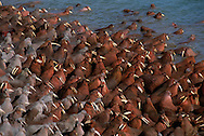 Walrus, Odobenus rosmarus, masses on the beach, Arakamchechen island, Chukotka, Russia