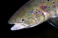 Atlantic Salmon, Salmo salar, Aunan lodge, River Orkla, Rennebu, Norway<br /> Model name: - Photographed at catch/release fishing.