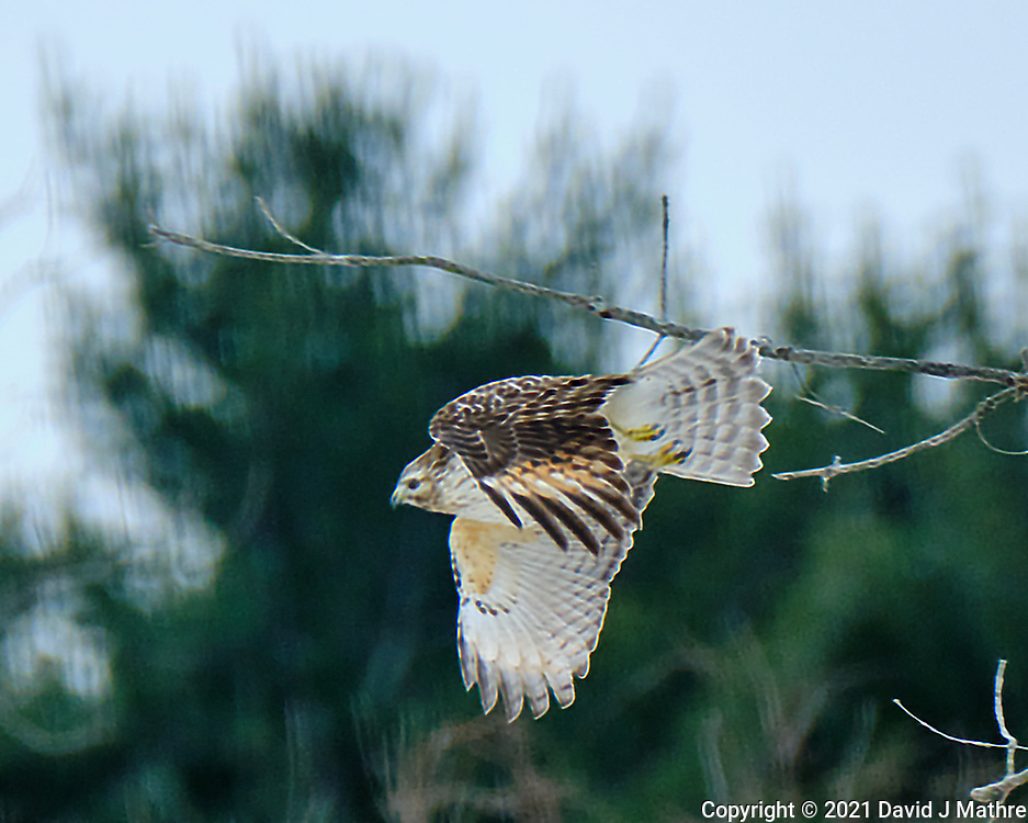 Cooper's Hawk (Accipiter cooperii). Image taken with a Fuji X-H1 camera and 100-400 mm OIS lens (ISO 200, 400 mm, f/5.6, 1/500 sec).