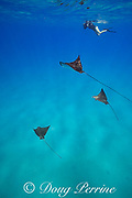Pacific whitespotted eagle rays or Pacific eagle ray, Aetobatus laticeps, and photographer, Black Rock, West Maui, Hawaii, USA ( Central Pacific Ocean ) MR 523