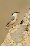 Rock Nuthatch - Sitta neumayer<br /> (Western Rock Nuthatch)