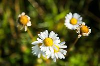 Wildflowers, Montana.