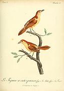 figuier a cuti-pennes from the Book Histoire naturelle des oiseaux d'Afrique [Natural History of birds of Africa] Volume 3, by Le Vaillant, François, 1753-1824; Publish in Paris by Chez J.J. Fuchs, libraire 1799 - 1802