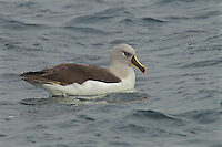 Grey-headed Albatross (Thalassarche chrysostoma) resting on the water.<br />Elsehul, South Georgia