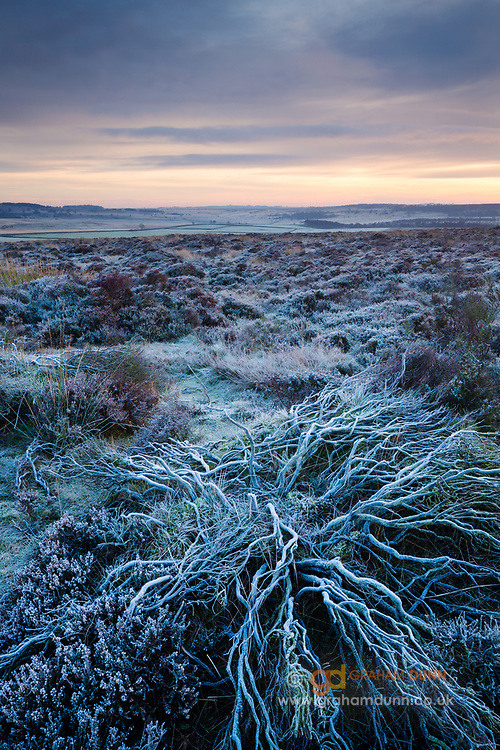 A heavy frost highlights these sprawling branches on the heather moorland above Baslow Edge in the Peak District. Winter in Derbyshire, January 2014. England, UK.