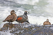 Harlequin ducks in rapid water habitat.