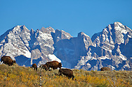 Grazing Bison, Grand Tetons, Jackson Hole, Wyoming