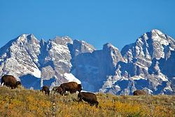 Grazing Bison, Grand Tetons, Jackson Hole, Wyoming