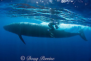 photographer Brandon Cole views approaching fluke of Bryde's whale, Balaenoptera brydei or Balaenoptera edeni, with apprehension as the whale shoots past only a foot or so away from him, off Cabo San Lucas, Baja California, Mexico ( Eastern Pacific Ocean ) #4 in sequence of 4