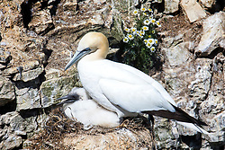 © Licensed to London News Pictures. 26/06/2017. Bempton UK. A Gannet sits on its nest with a chick as young birds are starting to appear at the RSPB Bempton Cliffs on the Yorkshire coast where 250,000 seabirds arrive each year to rear their young. Photo credit: Andrew McCaren/LNP