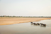 Parade of Elephant crossing the Luangwa River, Luangwa River National Park, Zambia, Africa