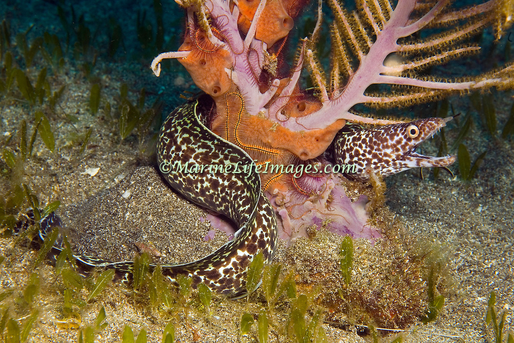 Spotted Moray inhabit wide range of reefs; hide during day in recesses, often extend head from openings in Tropical West Atlantic; picture taken Dominica.