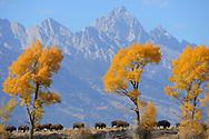 American Bison, Bison bison, Grand Teton National Park, Wyoming, USA