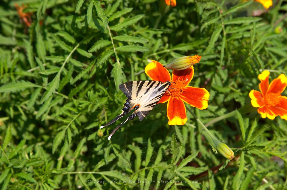 A pretty butterfly black and white with long tail on a yellow red orange flower. Hercegovina Vino, Mostar. Federation Bosne i Hercegovine. Bosnia Herzegovina, Europe.