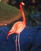 Flamingos, Honolulu Zoo, Waikiki, Oahu, Hawaii<br />
