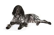 Large Musterlander Dog, Studio, White Background