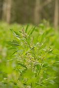 Brightest Brilliant quinoa bred by Frank Morton of Wild Gareden Seed.