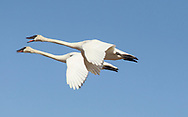Photo Randy Vanderveen<br /> Grande Prairie, AB<br /> 2020-04-16<br /> Trumpeter swans fly through the April sky near the northern outskirts of the city of Grande Prairie Thursday, April 16/20. While the birds are back in the Peace Country people wanting to see them will have to do their own scouting as the annual Swan Festival will not be running this year thanks to the Covid 19 pandemic. Many residents are wishing the virus would take flight instead, although up until now the infection rate in some areas of the province like Grande Prairie and Edson have been unbelievably low compared to even nearby communities.