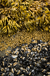A rock on the beach in the Muir Inlet near Van Horn Ridge is layered with (top to bottom) rockweed, acorn barnacles, and blue mussels. Muir Inlet is located in Glacier Bay National Park and Preserve in southeast Alaska.