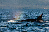 Rainbow colored Orca (Orcinus orca) spout in Favorite Channel in Southeast Alaska. Summer. Evening.