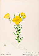 """Sketchbook No. 11 - Water-color sketches of plants of North America and Europe [graphic], Painted between June 1888 to September 1910 by Helen Sharp. Eighteen albums of water-color sketches by Helen Sharp of flowering plants and shrubs common to the United States, especially New England, as well as to Bermuda and parts of Europe, dated between June 1888 and Sept. 1910. Sketches in water-color and ink on paper (26 x 18 cm. or smaller) include botanical captions in Latin, along with Sharp""""s notes on the common name and physical characteristics of each plant, and location and date of drawing. There is also a table of contents at the front of each sketchbook. The first 16 albums contain sketches of plants common in New England, in towns of Massachusetts such as Nantucket, Taunton, Boston, No. Andover, Marblehead, Hingham, Gloucester; Maine (York, Sorrento); New Hampshire (Surrey), and Connecticut. Volume 17 contains sketches of plants made by the artist while traveling in Switzerland, Italy, England, and France, while v. 18 contains sketches of tropical fruits and flowers of Bermuda, completed during Sharp""""s visits of 1892, 1893, and 1903."""