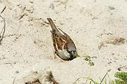 House sparrow, Passer domesticus, male bathing in sand, Sutherland, Highland.<br /> bird; birds; sparrows; bright; sunny; coast; coastal;<br /> bath; bathe; one; single; alone; lone; dune; dunes;<br /> animal; animals; wildlife; nature; Scotland; UK;