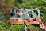 Seed Finches used for gambling in singing contests<br /> Georgetown<br /> GUYANA<br /> South America
