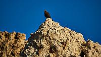 Bird on a Tufa. Mono Lake, South Tufa Area. Image taken with a Nikon D3 camera and 200 mm f/2 lens + 2.0 TCE (ISO 200, 400mm, f/4, 1/2500 sec).