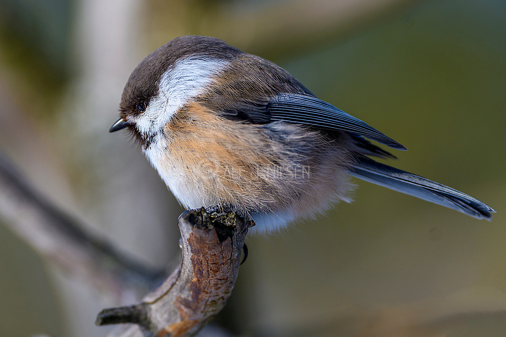 Siberian tit (Poecile cinctus) from Pasvik, Finnmark, Norway in March.