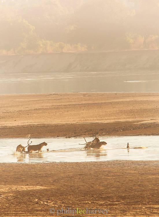 Lion pride chasing off crocodile in South Luangwa National Park, Zambia