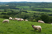 English landscape of agricultural fields with grazing sheep near Martley, England, United Kingdom.