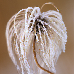 Hoar frost on a Clematis orientalis seedhead