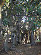 roots of the Ficus macrophylla tree Palermo botanical gardens (Orto botanico di Palermo), Sicily Italy
