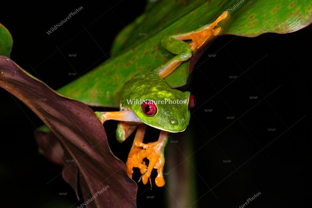 A male Red-eyed Tree Frog (Agalychnis callidryas) in Bocas del Toro, Panama