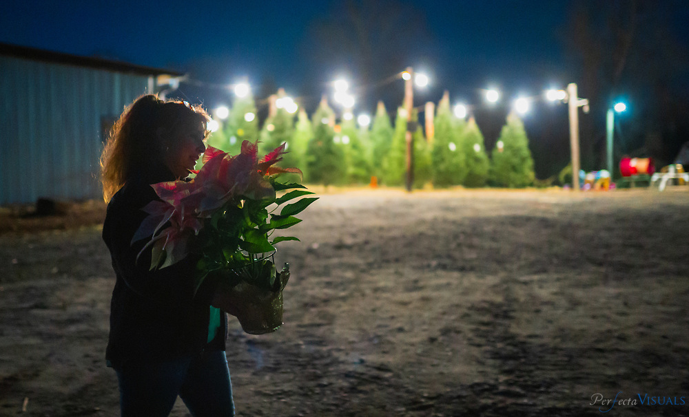 """Wendy Farrow carries her Peppermint poinsettia plant to her car. She also purchased a tree.<br /> <br /> Hickory Creek Farm is located on Burnetts Chapel Rd. in Greensboro, NC. The Christmas tree farm's philosophy is, """"We are a NC Century Farm dedicated to providing you with a beautiful Christmas Tree and a memorable family experience."""" Kevin Gray, a captain with the city of Greensboro Fired Department, helped convert his father's decades of focus on growing tobacco, vegetables and livestock to growing Christmas trees about 6 years ago. Gray says the farm was originally started by his great grandfather in 1913. Gray learned the business with another farmer for 12 years before embarking on tree sales five years ago. The sales operation sells a mix of trees grown by him and other North Carolina farmers at his retail location at his barn. <br /> <br /> Was tobacco, vegetables and livestock for majority of that time until we started with the tree planting about 6 years ago.<br /> <br /> The farm was actually originally started by my great grandfather in 1913<br /> <br /> This is our fifth season here at the farm.  I have worked for another farmer with trees for 12 years before that<br /> <br /> <br /> <br /> Photographed, Saturday, December 7, 2019, in Greensboro, N.C. JERRY WOLFORD / Perfecta Visuals"""
