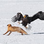 A Hokkaido Red Fox and a Steller's Sea Eagle having a bit of a disagreement