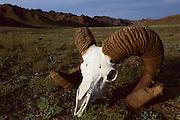 Argali (Ovis ammon) skull and horns, Gobi Desert, Mongolia