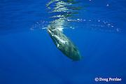 curious juvenile female sperm whale, Physeter macrocephalus ( Endangered Species ) Kona, Hawaii Island ( the Big Island ), Hawaii, U.S.A.  ( Central Pacific Ocean )