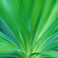 Hawaii, Kauai, Waimea Canyon, Grand Canyon of the Pacific, Iliau, Endemic plant only found in Waimea Canyon, Type of Silversword