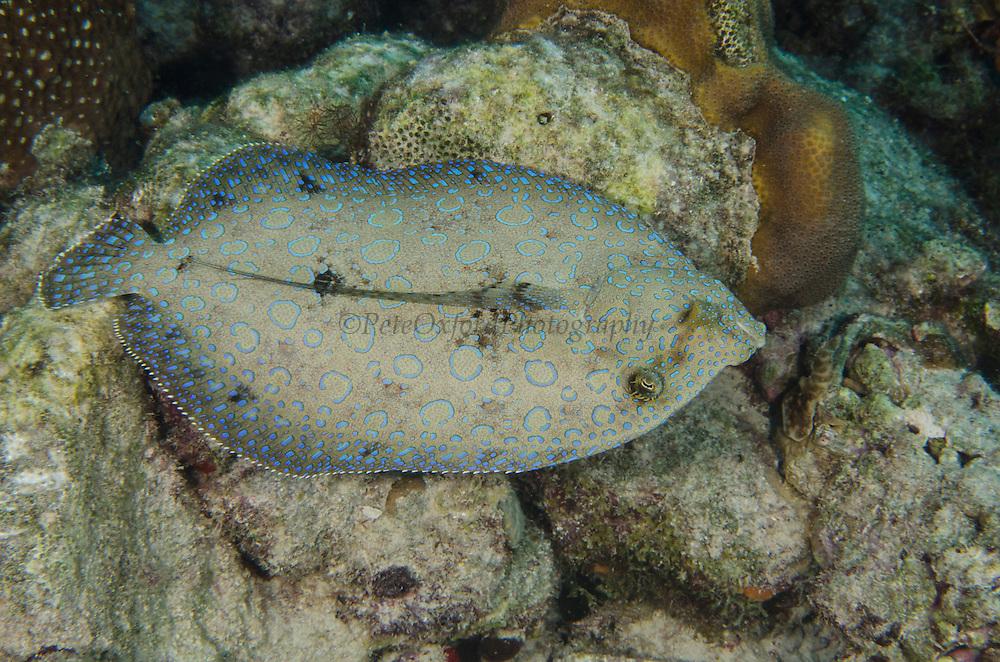 Peacock Flounder (Bothus lunatus)<br /> BONAIRE, Netherlands Antilles, Caribbean<br /> HABITAT & DISTRIBUTION: Coral, sand and seagrass areas often near patch reefs.<br /> Bahamas, Caribbean, Bermuda, Brazil & Ascension Island