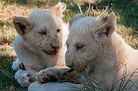 White lion cubs, Lion Park, near Johannesburg, South Africa. The white lion is a rare color mutation of the Timbavati region of South Africa.