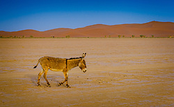 A donkey roaming in the Moroccan Sahara Desert near Cheggaga in the early morning<br /> <br /> (c) Andrew Wilson | Edinburgh Elite media