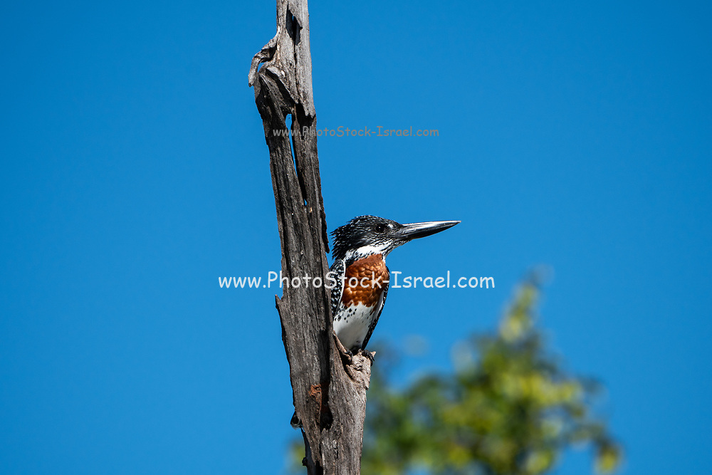 Giant kingfisher (Megaceryle maxima) perched on a dry branch. This bird is the largest kingfisher in Africa and is found over most of the continent south of the Sahara Desert. Photographed in Lake Kariba, Zimbabwe