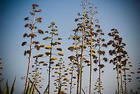 Cacti flowers on stems in Cabo de Gata, Spain